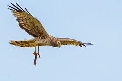 Northern harrier with Lizard ((X05_2969-1) by Eric SF