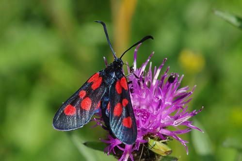 cambridgeshire woodwaltonmarsh zygaenatrifolii fivespotburnet moth nature wild wildlife