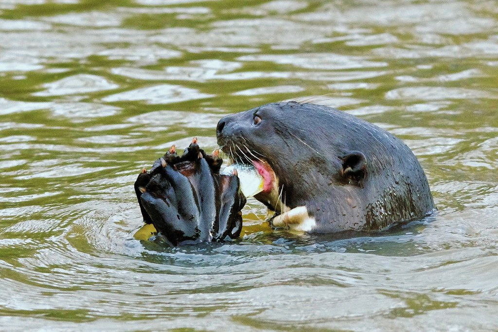 Giant River Otter Eating A Fish (Pteronura brasiliensis)