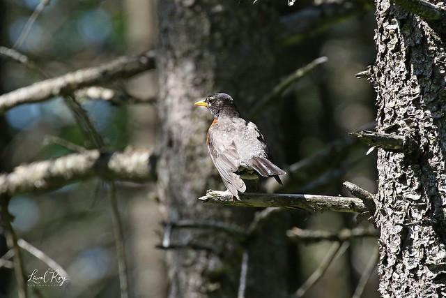 1.26163 Merle d'Amérique / Turdus migratorius migratorius / American Robin