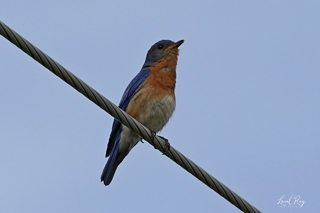 1.25741 Merlebleu de l'Est (mâle) / Sialia sialis sialis / Eastern Bluebird