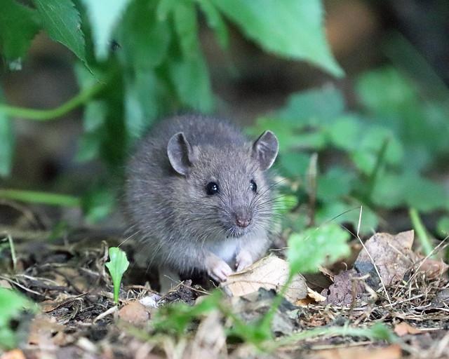 Common Rat (Rattus norvegicus)