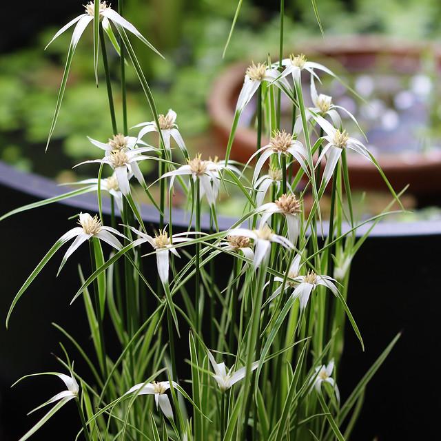 シラサギカヤツリ 斑入り ウィン シロサギスゲ ビオトープ 水生植物 抽水植物 Rhynchospora colorata