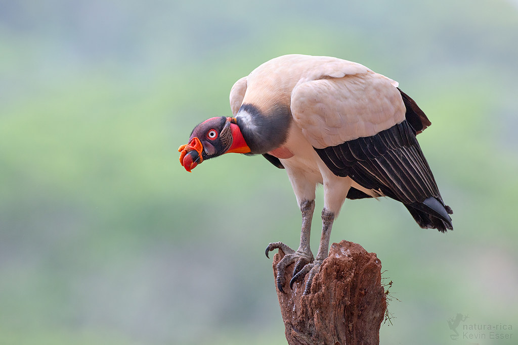 Sarcoramphus papa - King Vulture, Costa Rica