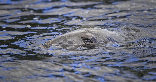 North Atlantic Grey Seal.