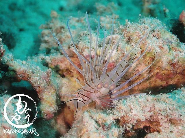 ハナミノカサゴの幼魚は健在♡