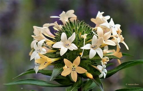 Collomia grandiflora - collomie à grandes fleurs 50097010033_833b54e9fa