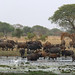Central African buffaloes at Dikere, Zakouma National Park,  Chad