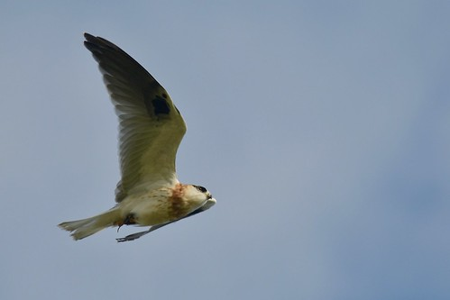 Black-shouldered Kite Luv. ( Dad is working over time ) | by friendsintheair