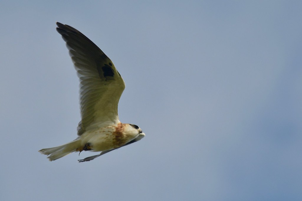 Black-shouldered Kite Luv. ( Dad is working over time )