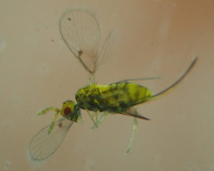 Chaetostricha sp.