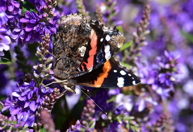 Red Admiral Butterfly on Hebe