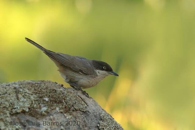 Toutinegra-real-ocidental | Sylvia hortensis | Western orphean warbler