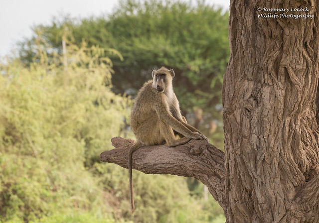 Yellow Baboon - Papio cynocephalus