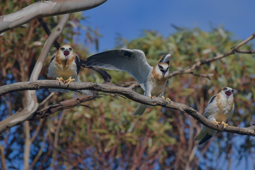 Black-shouldered Kites ( juv. )