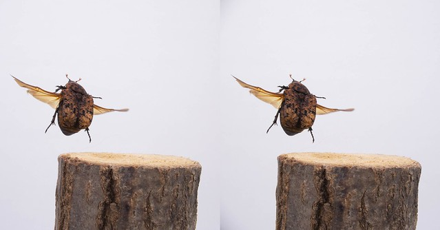 Poecilophilides rusticola, stereo parallel view