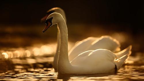 swan sunset bird wild nikon d850 400mm f28 vr norfolk broads jonathan casey photography