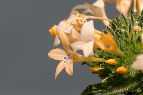 Collomia grandiflora - collomie à grandes fleurs 50097586911_68d89e1faa