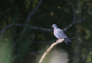 Stock dove, England