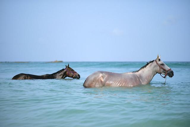 Bajan Horses
