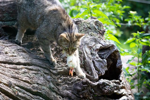 Wildcat with prey