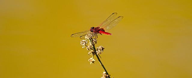 Dragon Fly Borneo DSC_0095