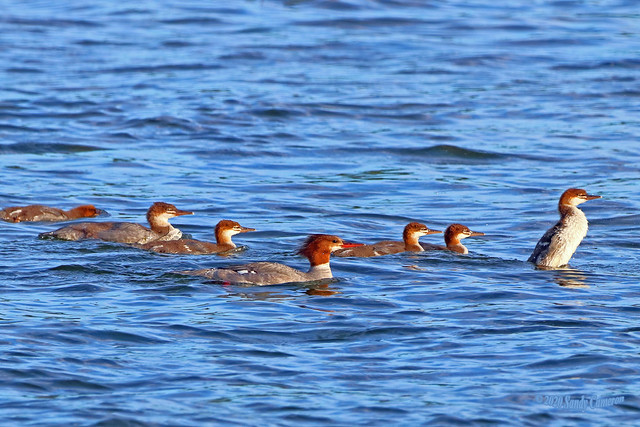 Common Merganser Hen And Ducklings 20-0624-8671