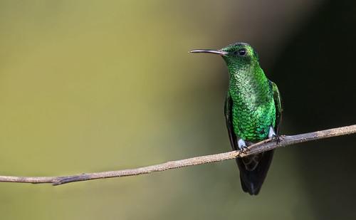Amazilia saucerrottei - Steely-vented Hummingbird - Amazilia Verdiazul - Amazilia Coliazul 118