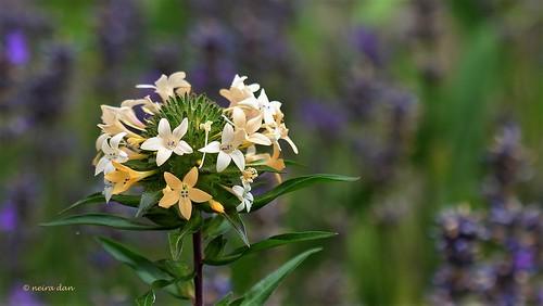 Collomia grandiflora - collomie à grandes fleurs 50097816802_2df2a273b5