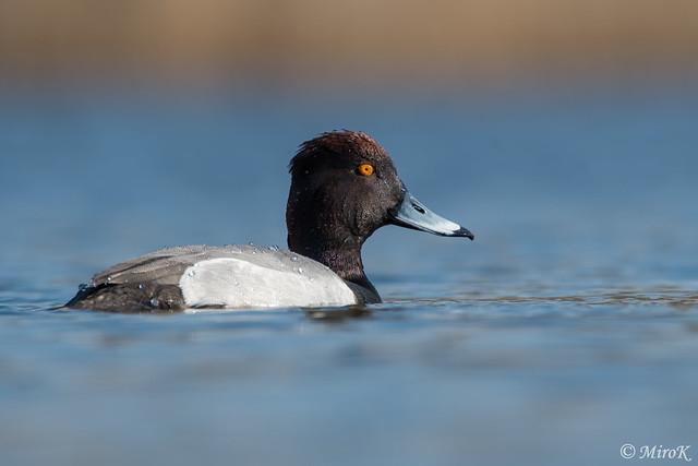 Hybrid duck #2