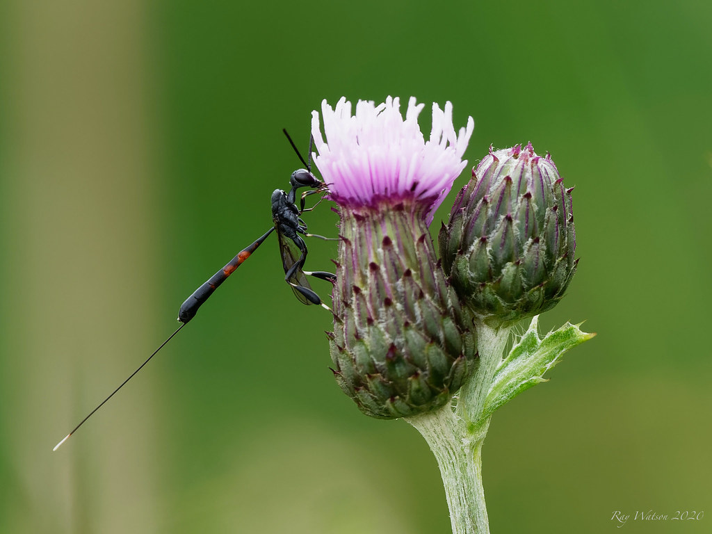 Parasitic Wasp - Gasteruption Jaculator
