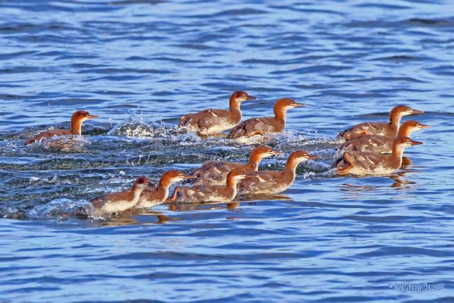 Common Merganser Ducklings 20-0624-8654