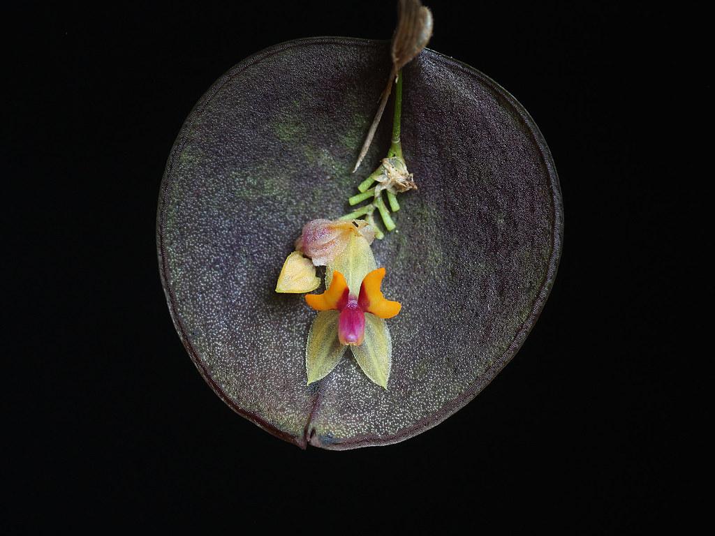 Lepanthes uxoria