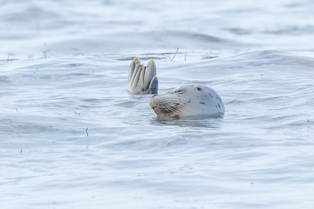 A harbor seal closes its eyes with its feet and tail sticking out of the water in the shallow surf near Cobble Beach at Yaquina Head Outsdanding Natural Area in Newport, Oregon in October 2017