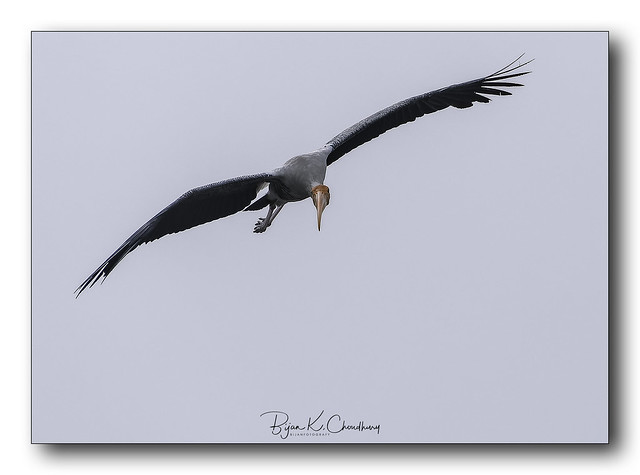 Birds of India: Painted Stork