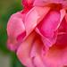 Soft Pink Petals
