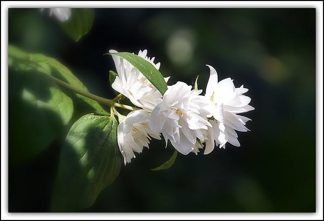 Flower Of The Day - Philadelphus 'Virginal'