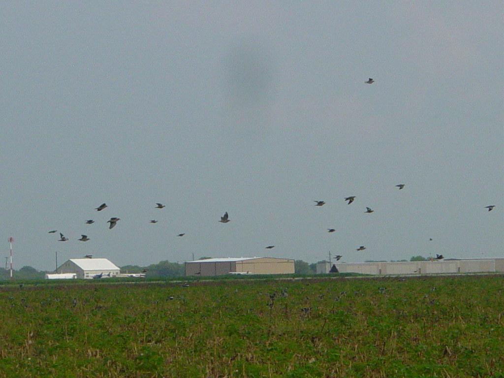White wings near Castroville