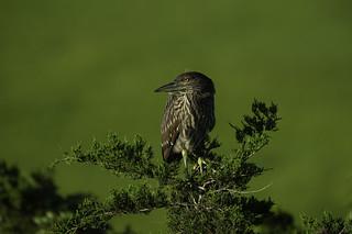 Not a Morning Bird