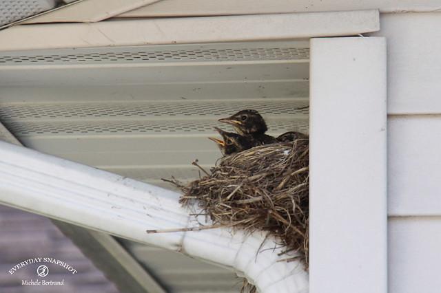 Baby Birds (12)