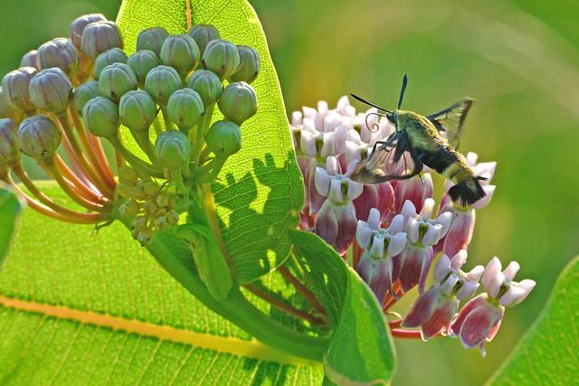 Snowberry Clearwing Moth on Prairie Milkweed