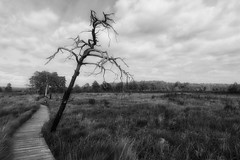 Armageddon Tree at Thursley Common, Hampshire