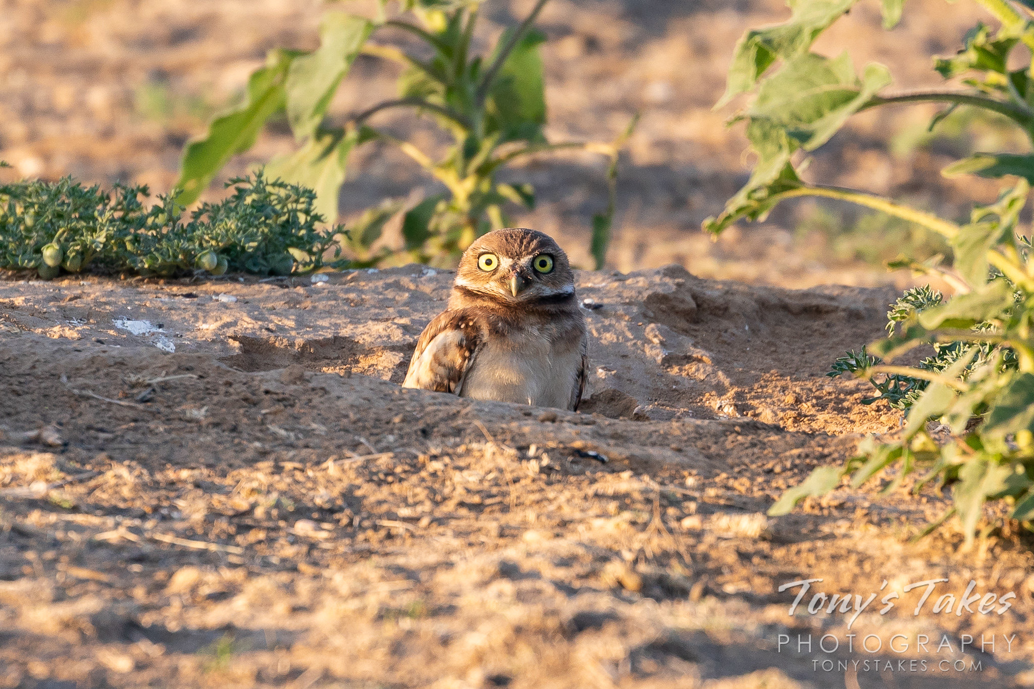 Video: Bopping burrowing owl owlet