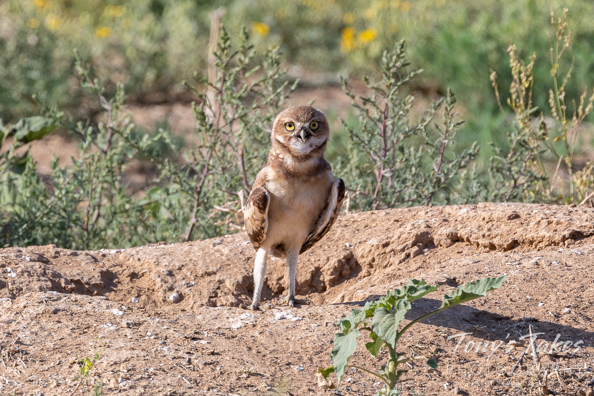 Burrowing owl owlet stands tall and says hello
