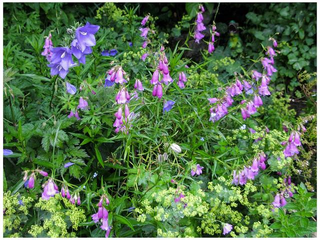 Campanula and Penstemon Blooming