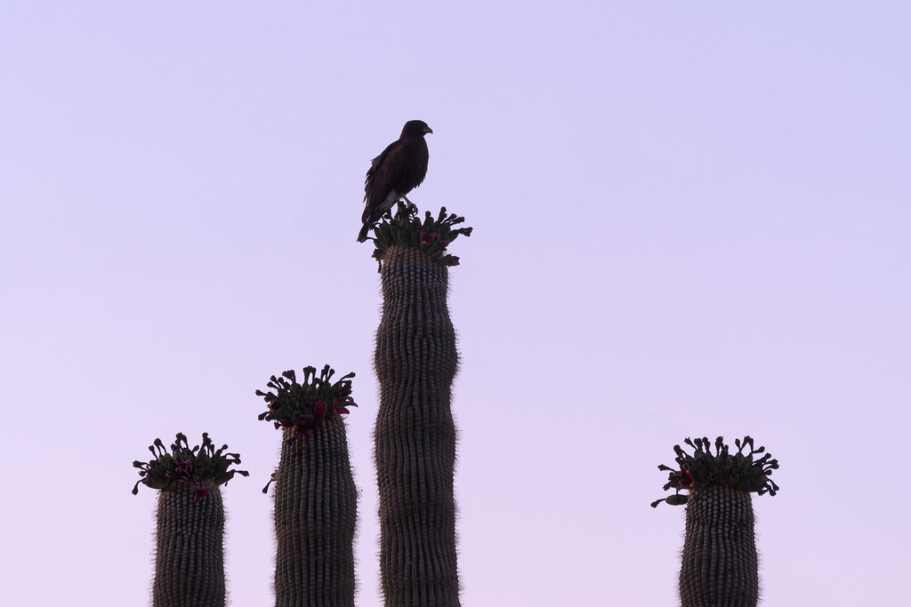 A near silhouette of an adult Harris's hawk perched on the tallest arm of a fruiting saguaro on the Chuckwagon Trail in McDowell Sonoran Preserve in Scottsdale, Arizona in June 2020