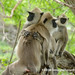 Sri Lankan Tufted Gray Langur (Semnopithecus priam thersites) DSD_5759
