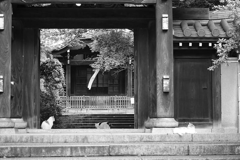Sony α7Ⅱ+TAMRON 28 200mm f2 8 5 6 RXD南池袋法明寺の猫 茶ブチ 黒ブチ 茶ブチ