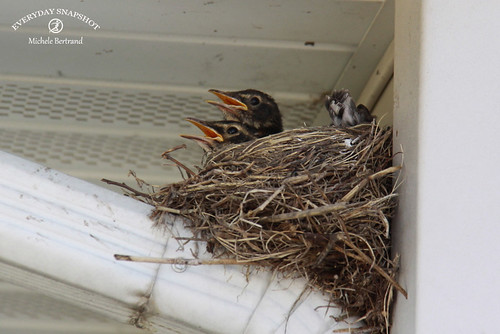 Baby Birds (9) | by Everyday Snapshot
