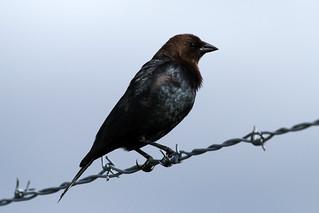 Molothrus ater ♂ (Brown-headed Cowbird)